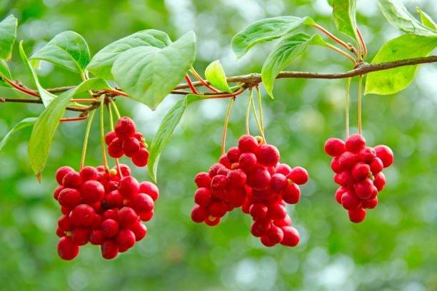 Die kleine rote Schisandrabeere hat in der traditionellen chinesischen Medizin eine lange Tradition.