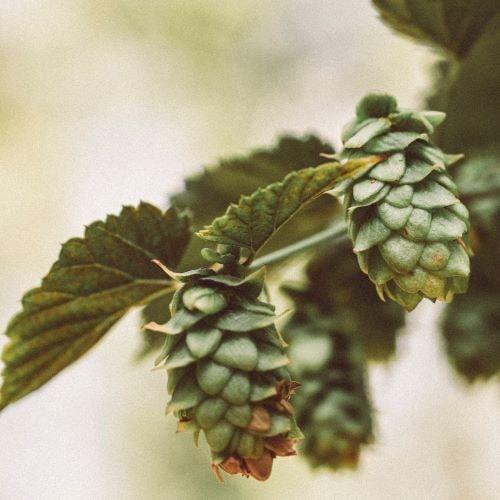 Immer häufiger wird die Arzneipflanze Hopfen auch von der Schulmedizin eingesetzt.