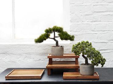 ASA Dekopflanze Bonsai Kiefer Pinus Mugo – Bild 2