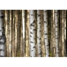 Fototapete no. 2553 | Vlies | Wald Tapete Bäume Birken weiß Motiv 2553
