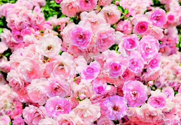 APH-937 Rosa Rosen Fototapete