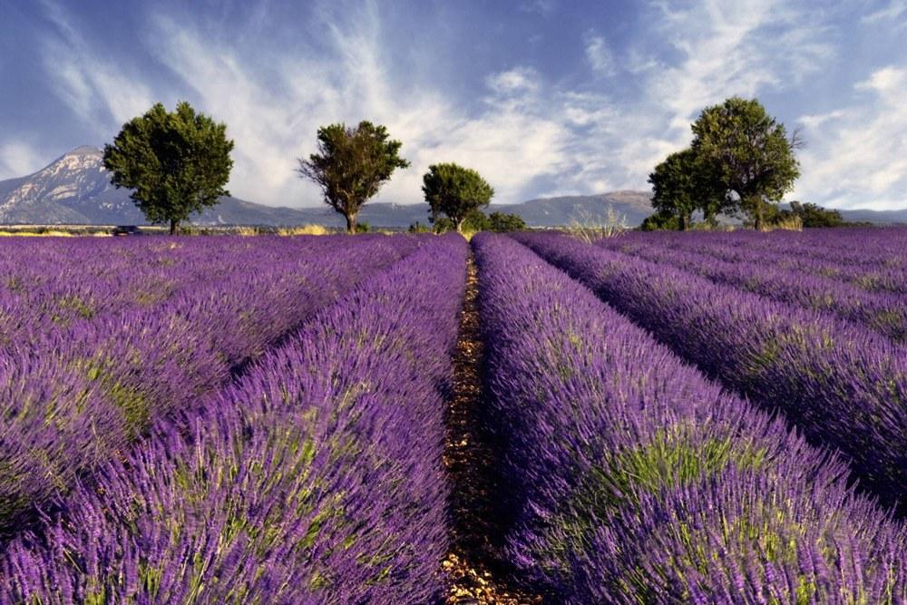 0310-1 Wandbild - Motiv: Lavender
