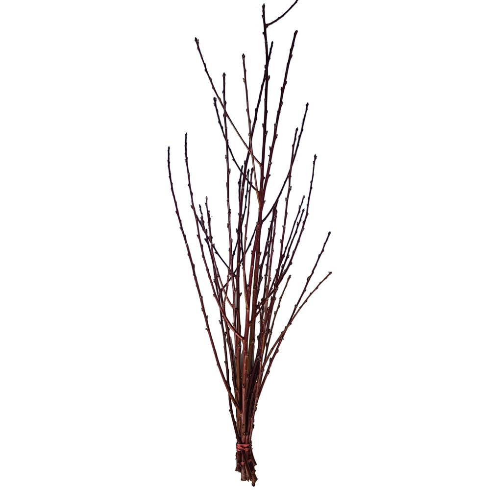 Magnolienzweige