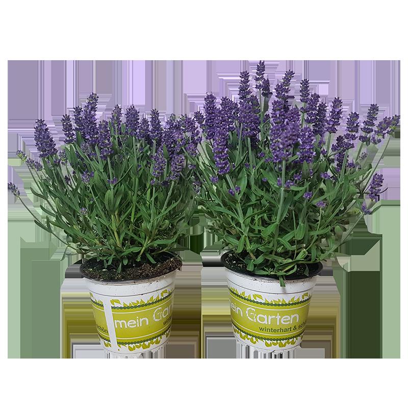 2 Lavendel im Topf mit 12 Durchmesser | winterhart | duftende Pflanze