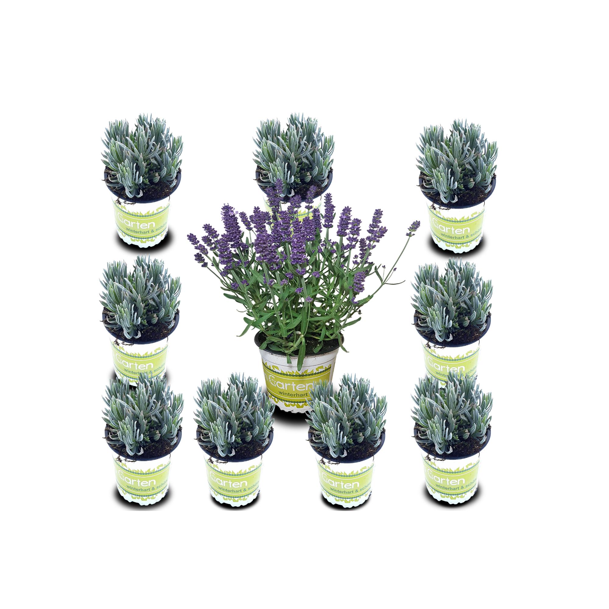 10 Lavendel-Pflanzen im Set / frische Duftpflanzen / Gartenpflanzen