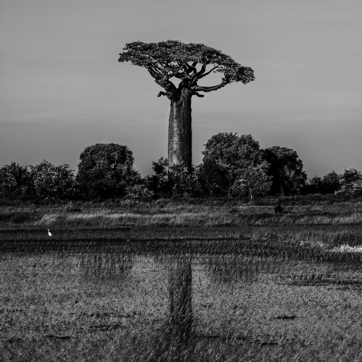 Ein Baobab Baum in der Natur in schwarzweiß