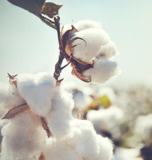 Blüte von Baumwolle
