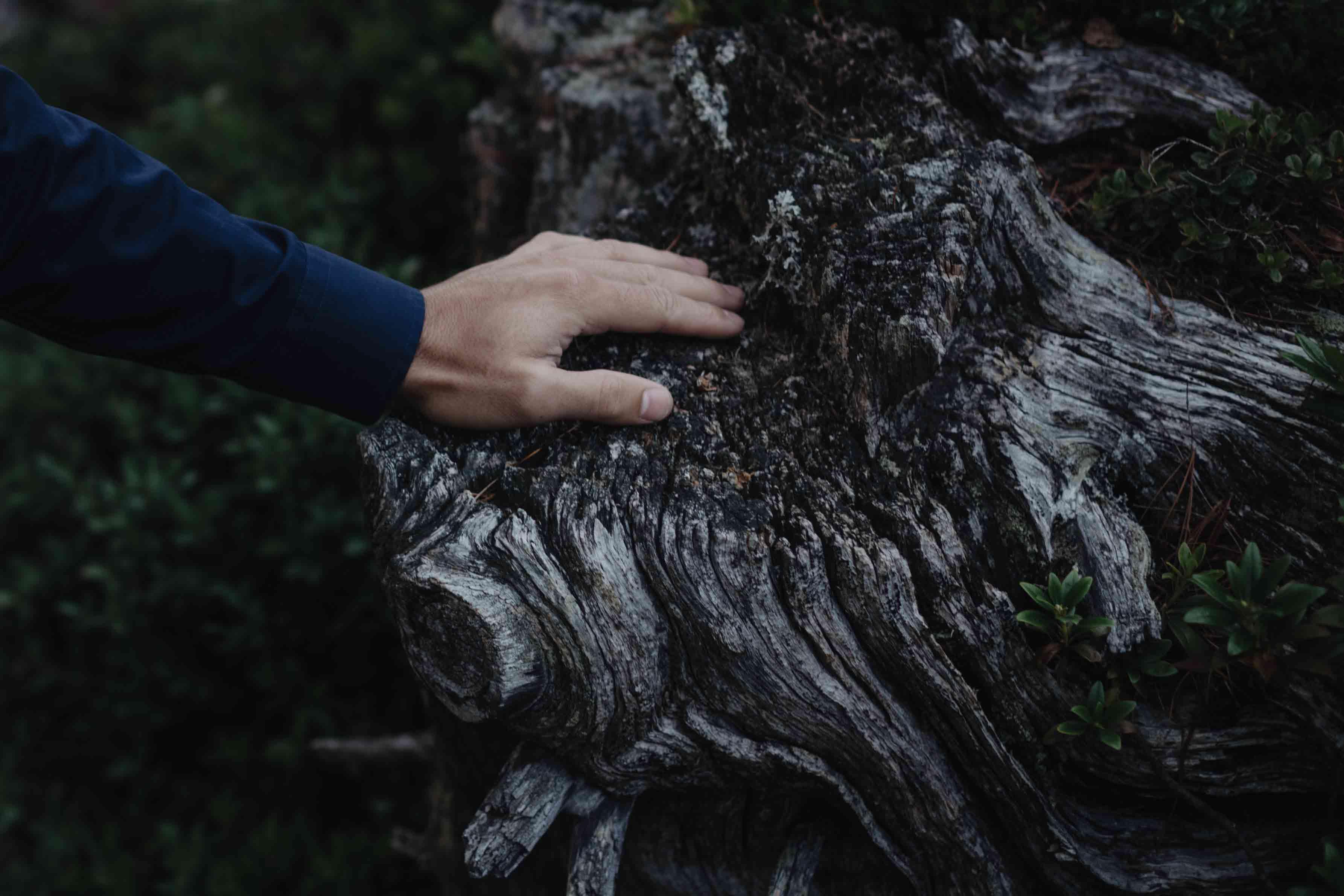 Zirbenholz im Wald
