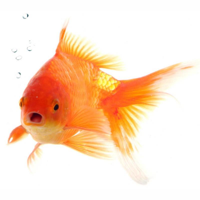 Fliesenaufkleber Motiv Goldfisch 15x15 cm – Bild 2