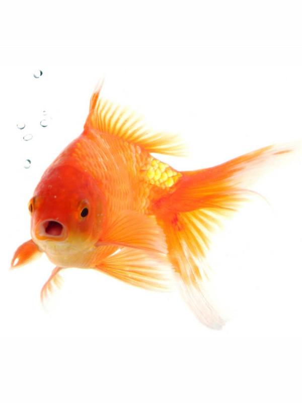 Fliesenaufkleber Motiv Goldfisch 15x20 cm – Bild 2