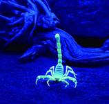 ECOSTAR 48 Lumen + UV LED Kopflampe Farbe: camouflage – Bild 7