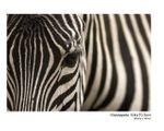 Fototapete Zebra Augenblick