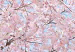 Fototapete Pink Blossoms Wand Bild Dekoration Modern XXL Bahn No.WG_00155