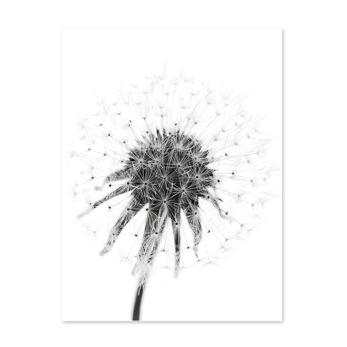 poster 39 pusteblume 39 30x40 cm schwarz weiss motiv natur. Black Bedroom Furniture Sets. Home Design Ideas