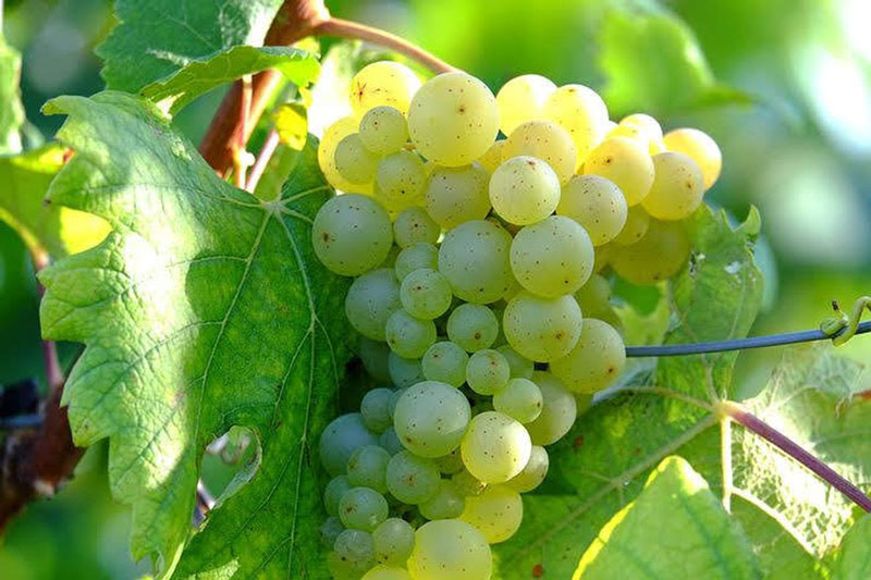 Grillo Weißweinrebsorte auf Sizilien