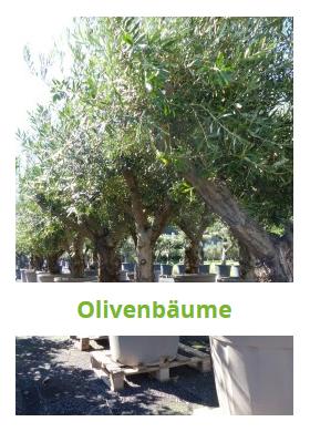Olivenbäume, winterhart