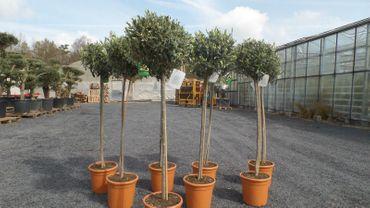 Olivenbaum Olive 140 - 150 cm Hochstamm, beste Qualität