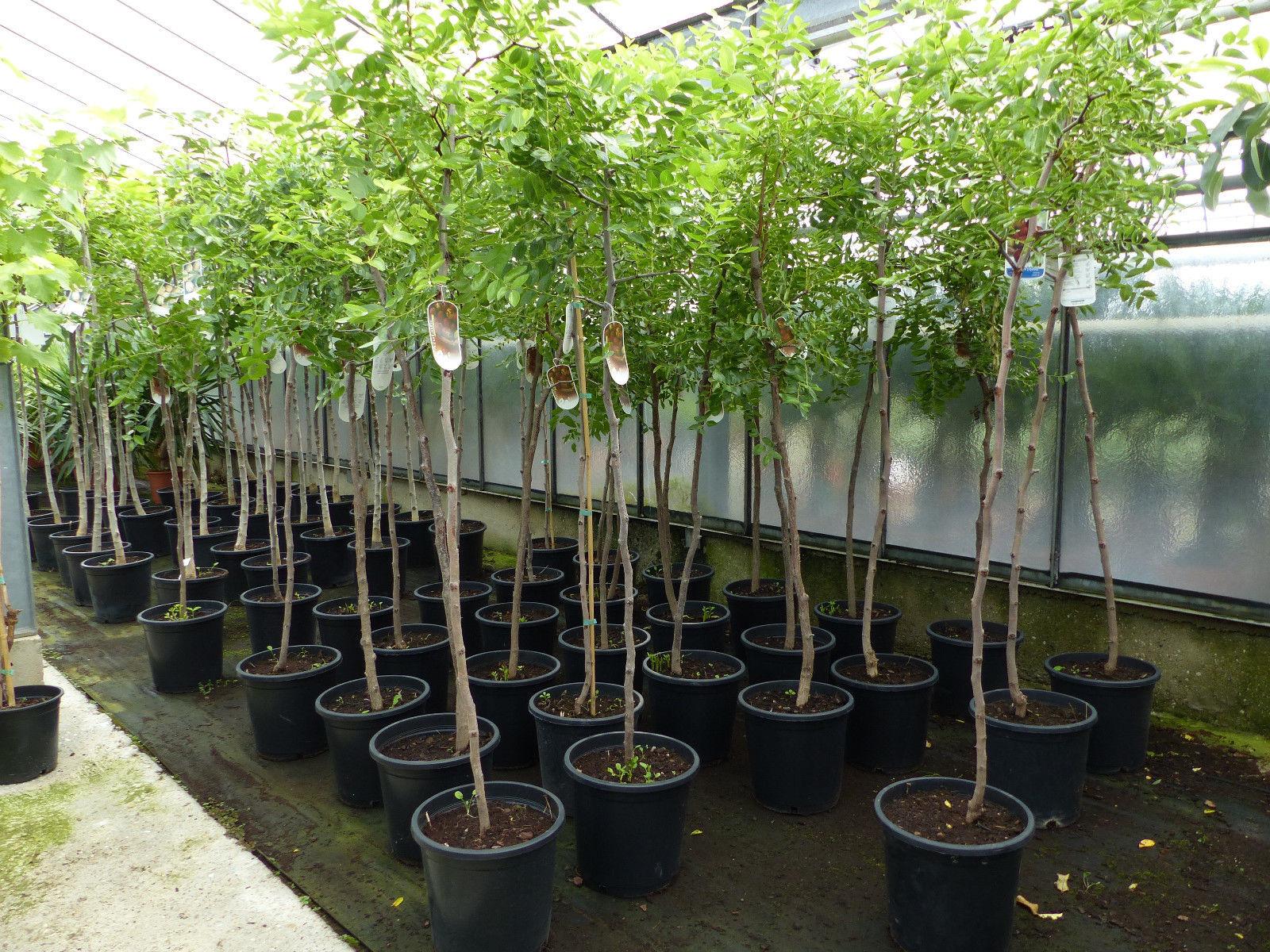 Ziziphus jujuba Dattel 140-160 cm Dattelbaum 6-8 cm Stammumfang