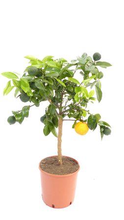 "rote Limette Limettenbaum ""Limetta Rossa"" Citrus Limonia 70-90 cm Zitruspflanze"