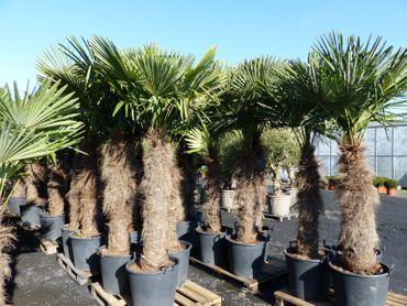 XXXXL 220 - 250 cm Trachycarpus fortunei Hanfpalme, winterharte Palme bis -18°C