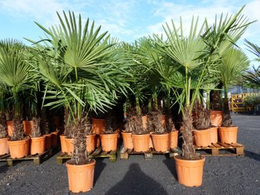 XXL Palme winterhart, 170-190 cm Trachycarpus fortunei, Hanfpalme, Top-Qualität