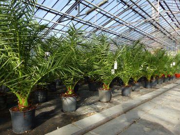 SONDERPREIS: Palme 100 - 120 cm, Phoenix canariensis, kanarische Dattelpalme