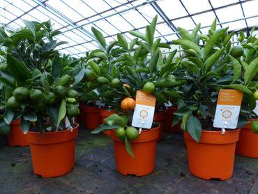 Calamondin BIO Orange Citrus Mitis 35-45 cm hoch Orangenbaum Calamondino T14