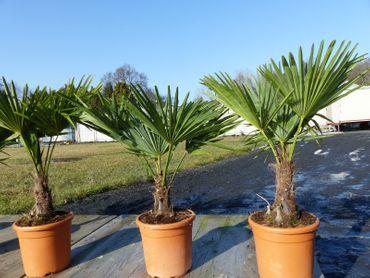 "Hanfpalme ""M"" Palme Trachycarpus fortunei winterhart, Premiumqualität"