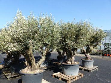 verzweigter, uriger, alter Olivenbaum 230-250cm, knorrige Olive, Olea Europaea, winterhart