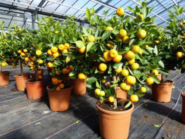 Calamondin Orange Citrus Mitis 70 - 80 cm hoch Orangenbaum Calamondino