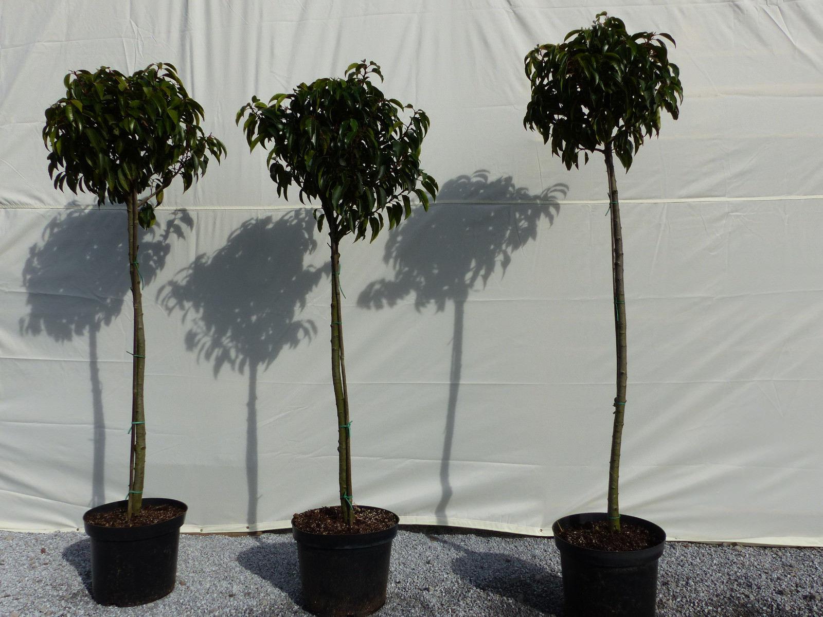 Portugisische Lorbeerkirsche Stamm Prunus lusitanica Stamm