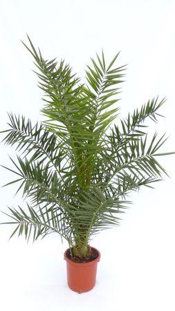 Palme XXL 140 - 160 cm Phoenix canariensis, kanarische Dattelpalme, winterhart