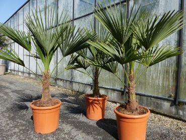L Palme Trachycarpus fortunei, Hanfpalme, winterhart + robust bis -18°C