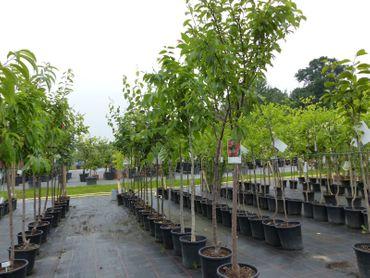 div. Obstbaum 170 - 180 cm Obst Pflaume, Süßkirsche, Pfirsich, Apfel, Birne