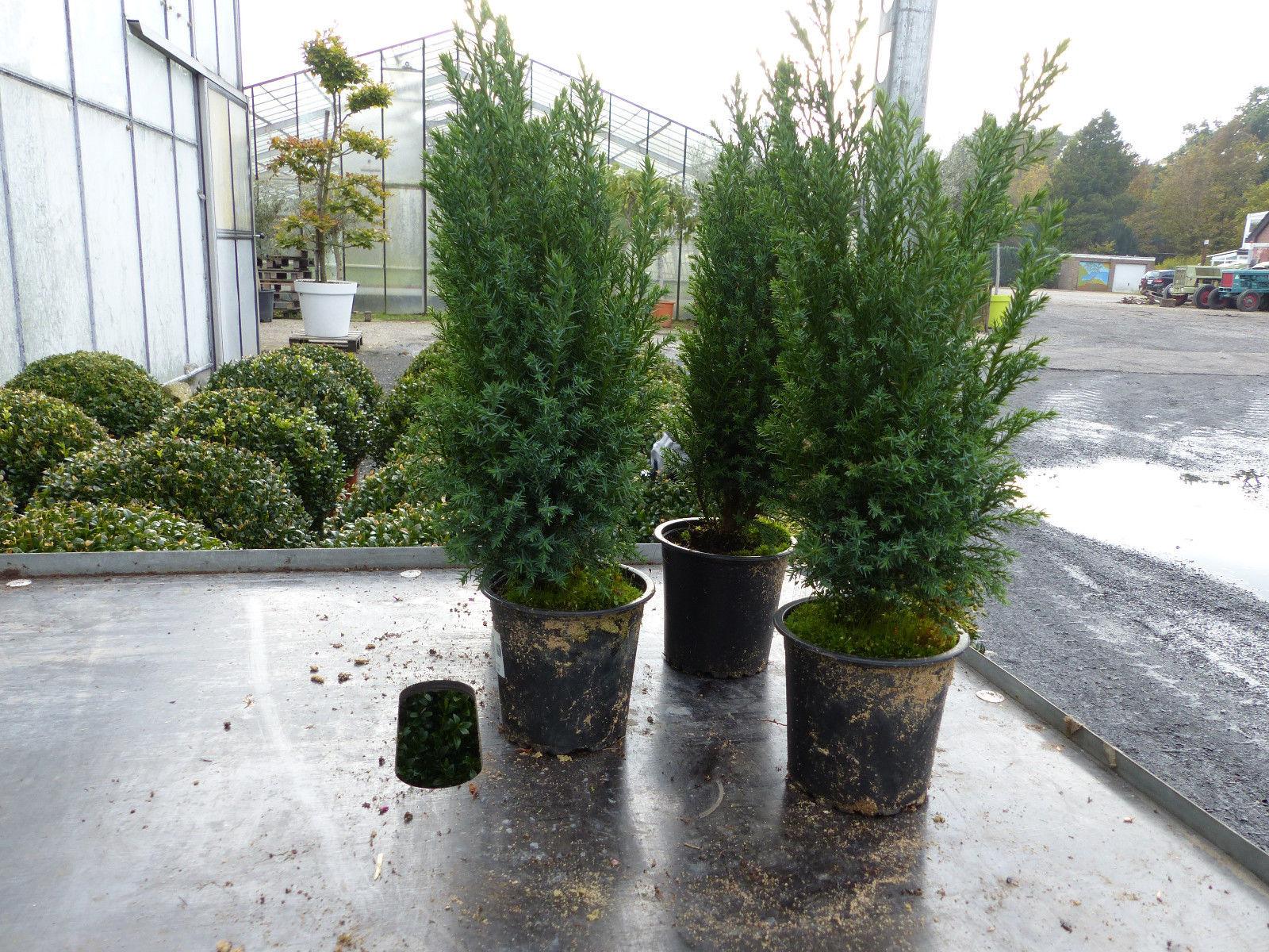 Pflanzen Samereien Blumenzwiebeln 1 Premium Winterharte