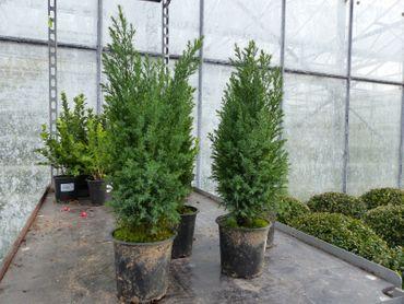 "1 Premium winterharte Konifere 25-40 cm ""Ellwoodii"" Zypresse Heckenpflanze Hecke"