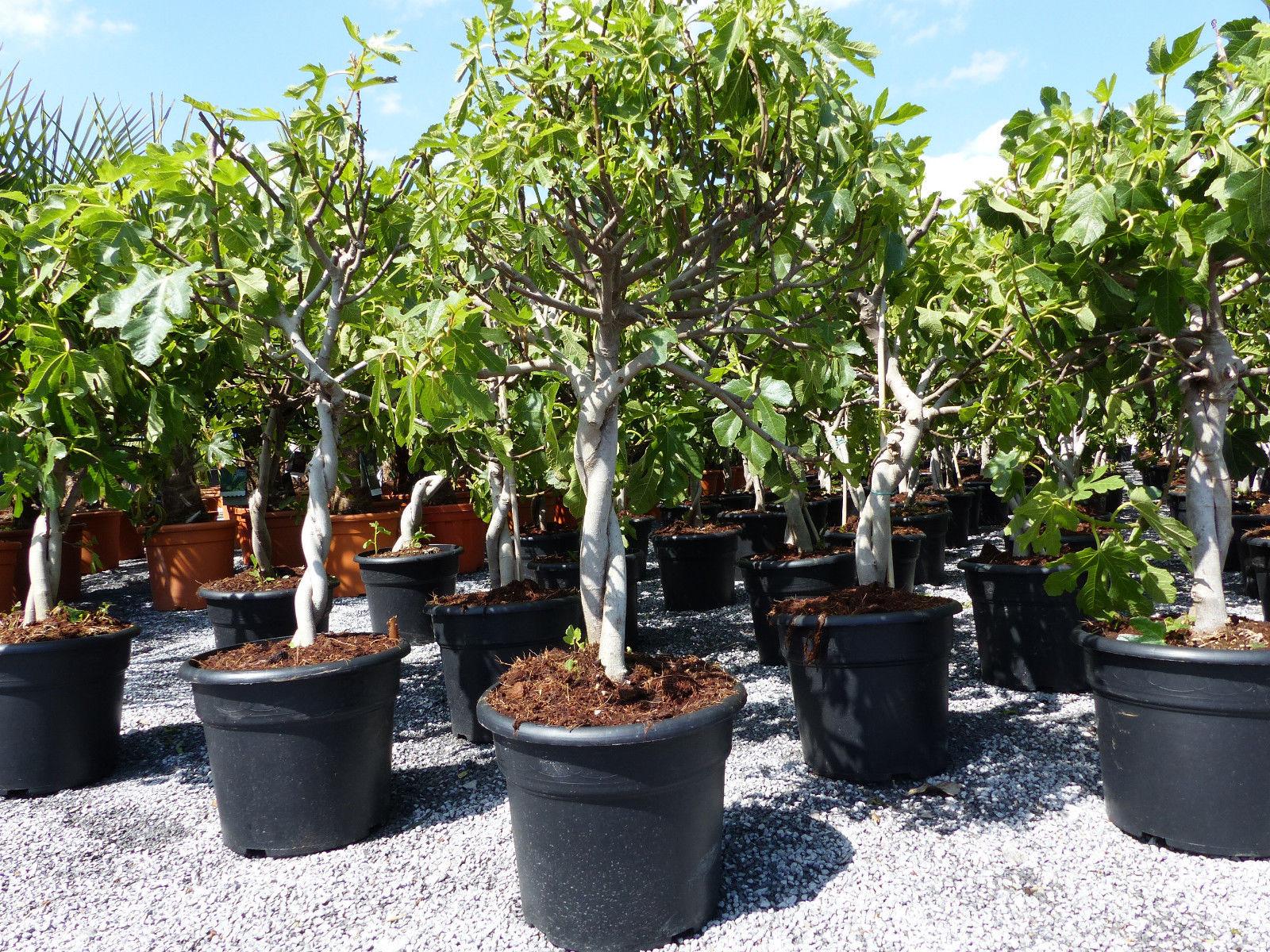 Obstbaum winterhart Ficus Carica Feige Feigenbaum !! hell UND dunkel !!