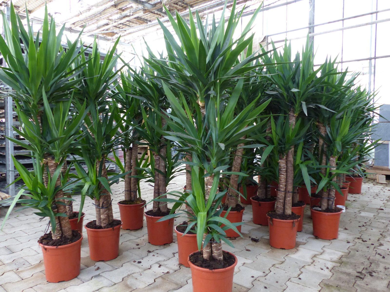 3 k pfe yucca palme elephantipes 160 cm hoch b ropflanze for Zimmer yucca palme bluht