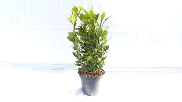 Gewürzlorbeer Pyramide Laurus nobilis 45-55 cm, echter Lorbeer, Kräuter Pflanze Kräuterküche