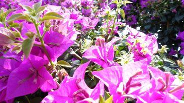 Bougainvillea glabra, Drillingsblume, Stamm 110 - 120 cm, Kletterpflanze