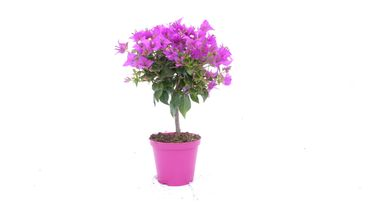 "Bougainvillea glabra ""Alexandra"" Stamm 50 cm, purpurviolett, Kletterpflanze"