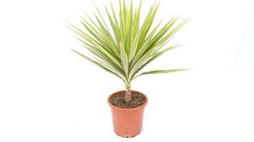 """Yucca Busch Palme 100 cm Elephantipes """"Jewel"""", pflegeleichte Zimmerpflanze"""