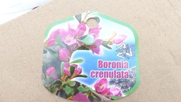 Boronia Crenulata Busch Dauerblüher 60 cm, Korallenraute, Kübelpflanze