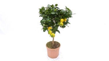 """Citrus limetta """"Pursha"""", 70 - 80 cm,Pursha-Limette, römische Limette"""