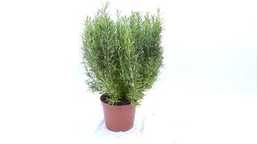Rosmarin Officinalis Busch, stehend, winterhart Kräuter Pflanze Kräuterküche - div. Größen
