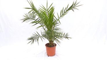 Angebot: Palme 80 - 100 cm, Phoenix canariensis, kanarische Dattelpalme - kräftige, gesunde Palmen mit dickem Stamm