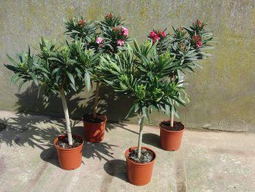 Oleander Stamm Nerium Rosenlorbeer Premium rot, rosa oder weiß (70-100 cm)