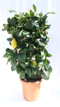 Spalier Zitrone 80 - 100 cm, Citrus Limon am Spalier, Zitronenbaum, Zitrus