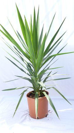 """Yucca Palme """"green Busch"""" 120 cm, pflegeleichte Zimmerpflanze"""