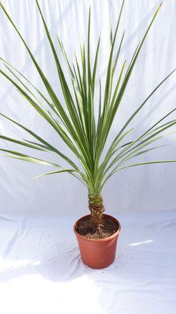 """Yucca Palme """"green Stamm"""" 170 cm, pflegeleichte Zimmerpflanze"""